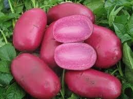 Ward's Berry Farm Red Adirondack Potatoes